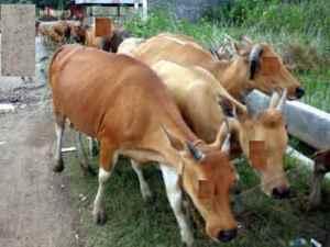 sapi bukan tunggangan dewa